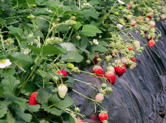 果実の里 原田農園のイチゴ狩り
