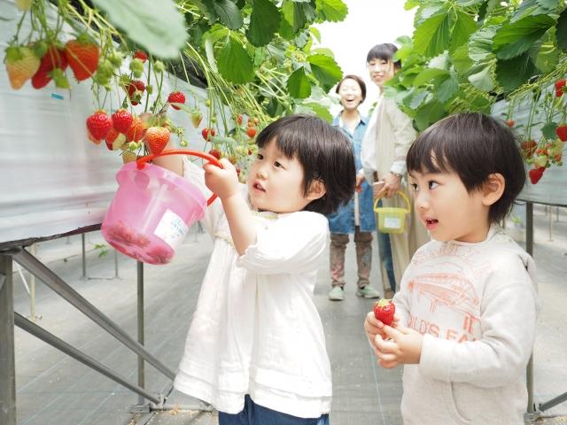 イチゴ狩り人気の高設栽培