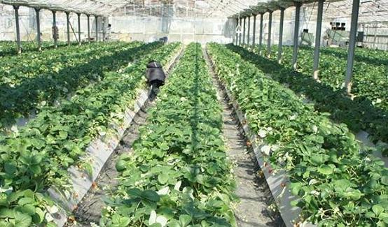 いちごはうす嘉山農園のイチゴ狩り
