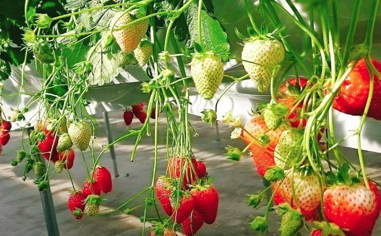 苺の里のイチゴ狩り