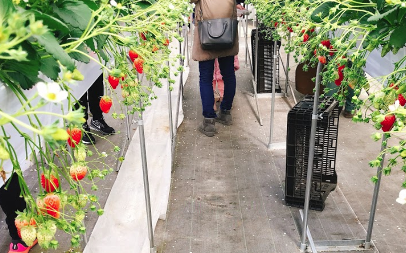 世田谷いちご熟でイチゴ狩り